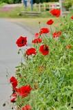 Coquelicots en fleur
