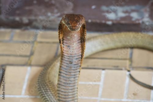 Close-up king cobra head. Poster