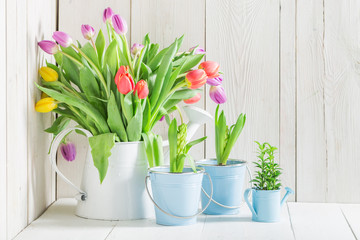 Young and fresh tulip in white watering can