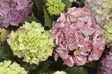 pastellfarbene Hortensien
