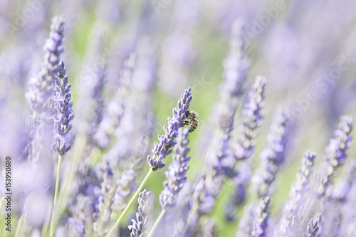 Spoed canvasdoek 2cm dik Lavendel Lavande