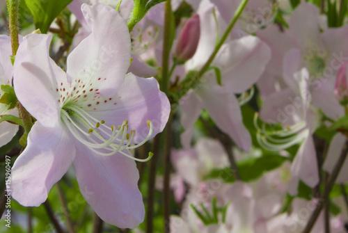 Foto Spatwand Azalea azalea rhododendron flower close-up