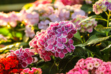 Hydrangea flowers blooming in the garden at sunset.