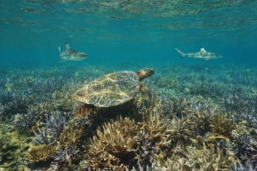 Shallow coral reef underwater with an hawksbill sea turtle and blacktip reef sharks, south Pacific ocean, New Caledonia