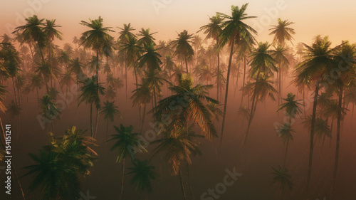 Fototapeta High angle view of palm tree forest in morning mist.