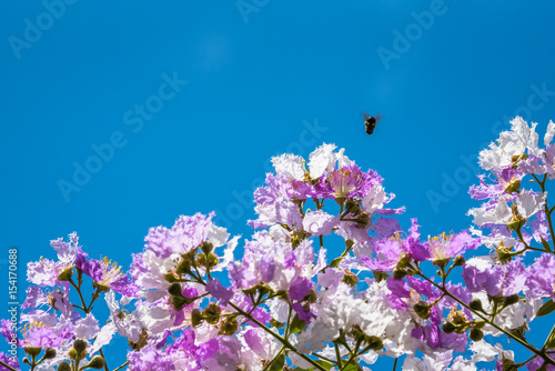 The bees fly around the flower to find nectar from Lagerstroemia blooming in nat Poster