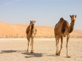 two camels walking with dunes in background