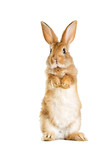 The funny rabbit is standing on its hind legs - 154220021
