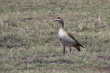 Egyptian goose standing among the low grass on the shore of the lake on a hot day