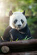 portrait of nice panda bear eating in summer environment - 154271851