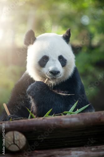 Fotobehang Panda portrait of nice panda bear eating in summer environment