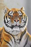 Tiger potret