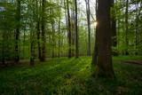 Świetlista dąbrowa, wiosenny las - 154381448