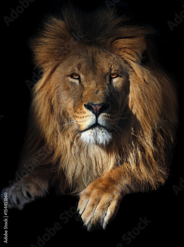 Lion geat king serious portrait