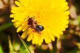 Spring landscape. Yellow fly drinking nectar from yellow dandelion flower, close-up, macro