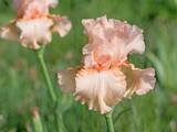 Schwertlilien, Iris
