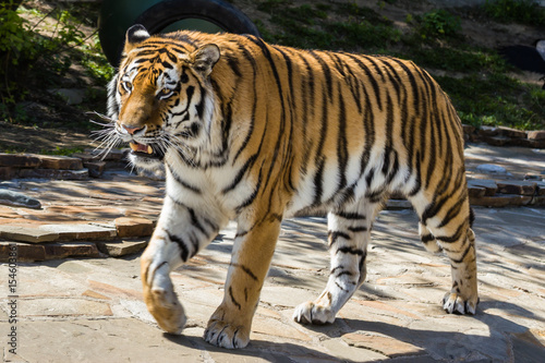 Poster The Amur tiger
