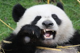 A fluffy panda acts very funny while eating the bamboo