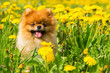 Fluffy Dog Pomeranian Spitz Sitting in a Spring Park in Surrounded Dandelions on a Sunny Day. - 154617476
