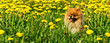 Fluffy Dog Pomeranian Spitz Sitting in a Spring Park in Surrounded Dandelions on a Sunny Day. - 154617895