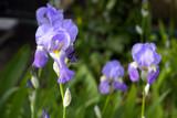 Schwertlilien in voller Blüte