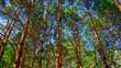 the trunks of the coniferous forest