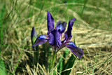 Iris germanica flower blooming with sword-shaped leaves, growing wild in grass
