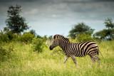 Trotting Zebra