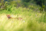 Cheetah in Flowers and Grass