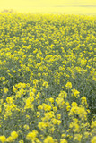 Field of blooming rape, rapeseed yellow flowers, canola .