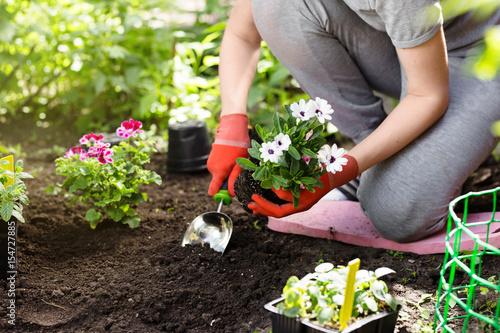 Gardener planting flowers in the garden, close up photo.