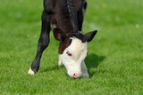 Calf on the green meadow