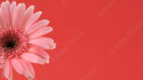 Fotobehang Gerbera Pink Gebera flower on red background with copy space