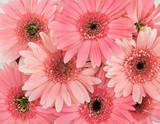 Pink Gebera flowers background