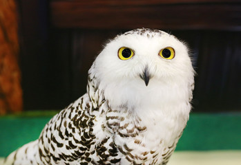 Close up Snowy Owl.
