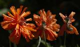 Poppies - flowering stage