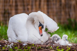 Mother swan and little swans