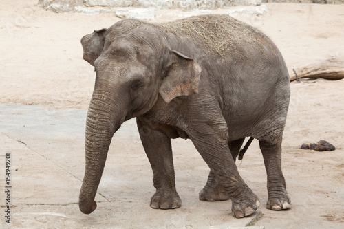 Poster Asian elephant (Elephas maximus).