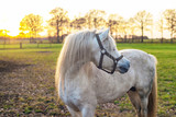 White pony standing in meadow looking aside. Backlit by sun.