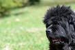 Old newfoundland dog outdoors