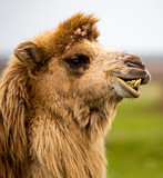 Portrait of camel on nature in spring
