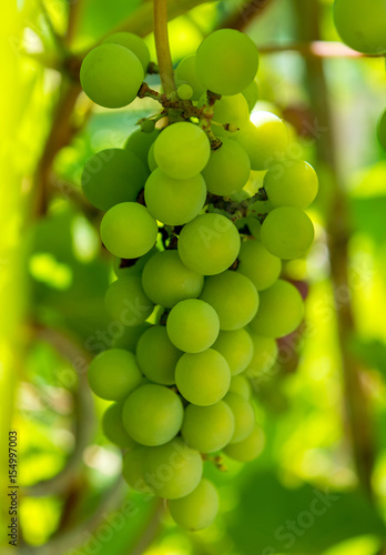 Fototapeta Photo of a branch of green vine grapes