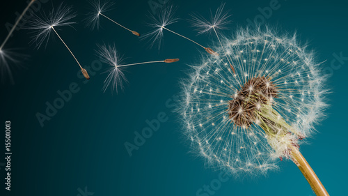 Close-up of dandelion seeds on blue natural background