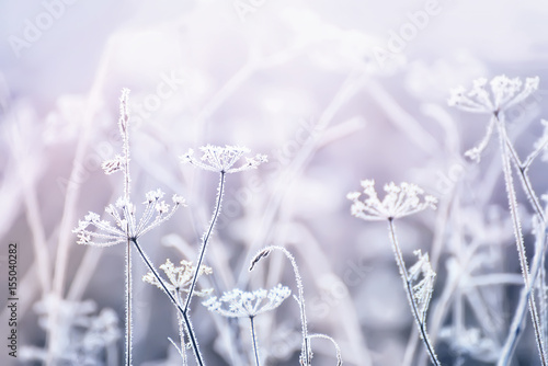 delicate openwork flowers in the frost. Gently lilac frosty natural winter background. Beautiful winter morning in the fresh air. Soft focus.