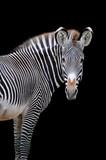 Zebra portrait isolatedon black background - 155054607