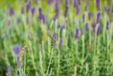 Lavender flower nature background