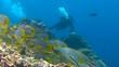 Постер, плакат: Красочная стайка рыб Сладкогубов Дайвинг в Индийском океане близ Мальдивского архипелага