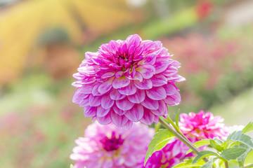 Dahlia in garden (Pinnata Cav.)