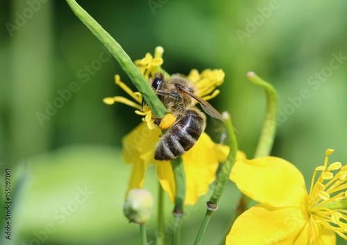 Bee on a St. John's wort herb Photo by bellakadife