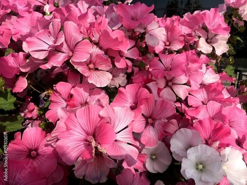 Papiers peints Rose banbon summer flowers.. in city park